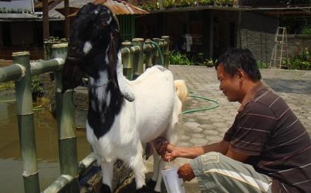 efek samping susu kambing etawa